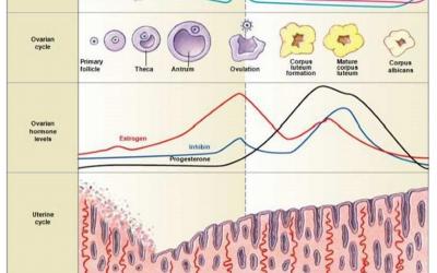 ¿Es tiempo de cambiar las fechas que consideramos para el momento de la ovulación en un Ciclo Menstrual Regular?